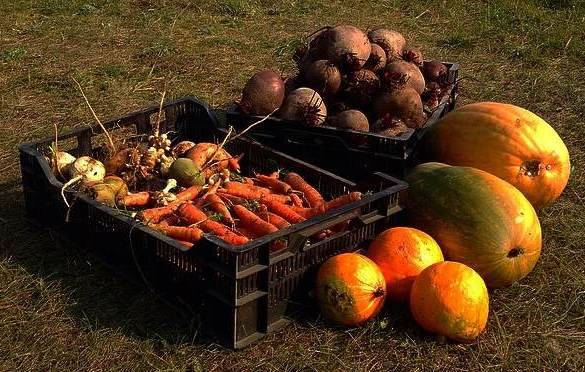 Выращивание моркови на урале