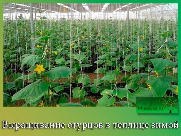 10 кг огурцов с куста! мой секрет выращивания: 5 советов