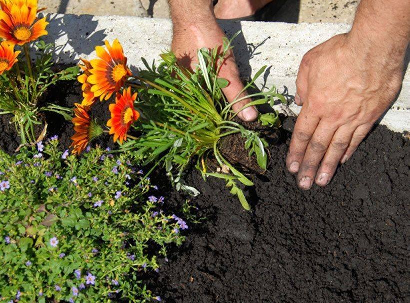 Гацания выращивание из семян когда сажать