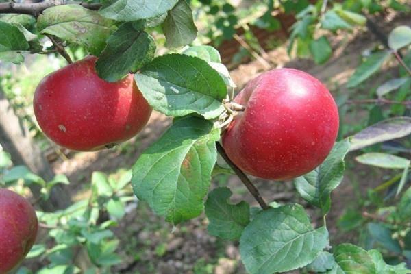 Почему для своего сада стоит выбрать яблоню сорта краса свердловска