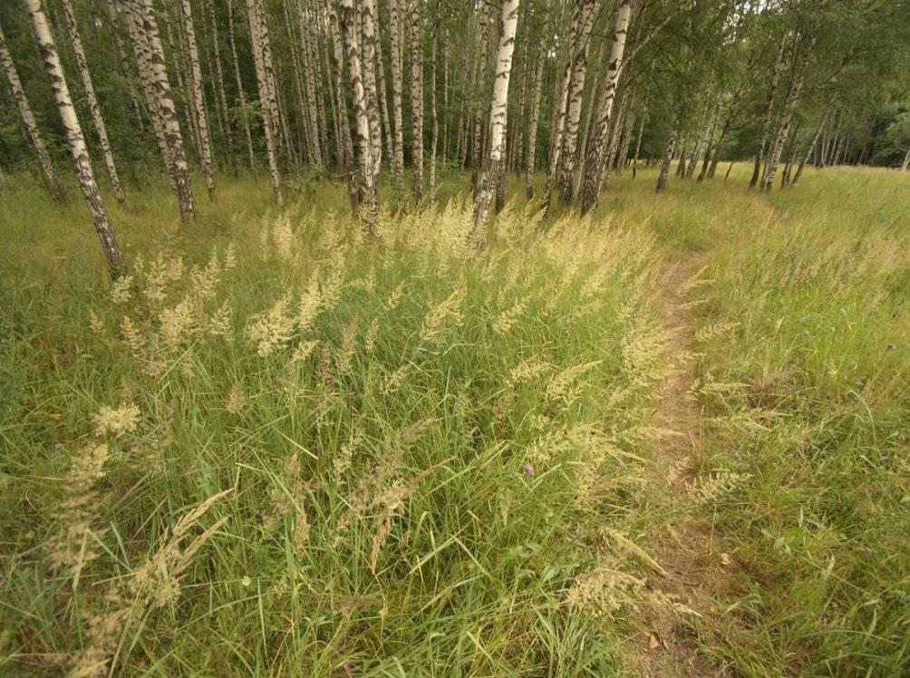 Овсяница луговая, особенности использования травы в газонном дизайне