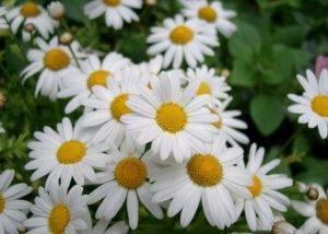 Ромашки: выращивание из семян, фото, посадка и уход в открытом грунте