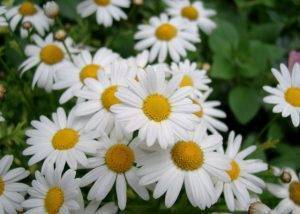 Ромашки садовые: выращивание и уход. ромашки садовые многолетние