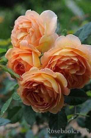 Роза английская леди оф шалот: описание сорта