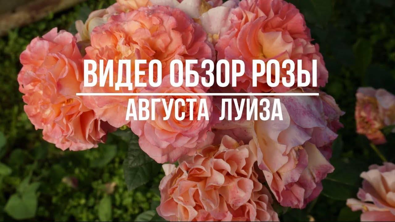 Роза августа луиза энциклопедия роз галерея