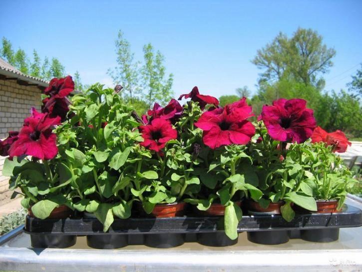 Посев петунии на рассаду: выращивание цветка