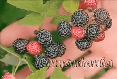 Малина кумберленд - особый сорт малины и его выращивание своими руками (110 фото)