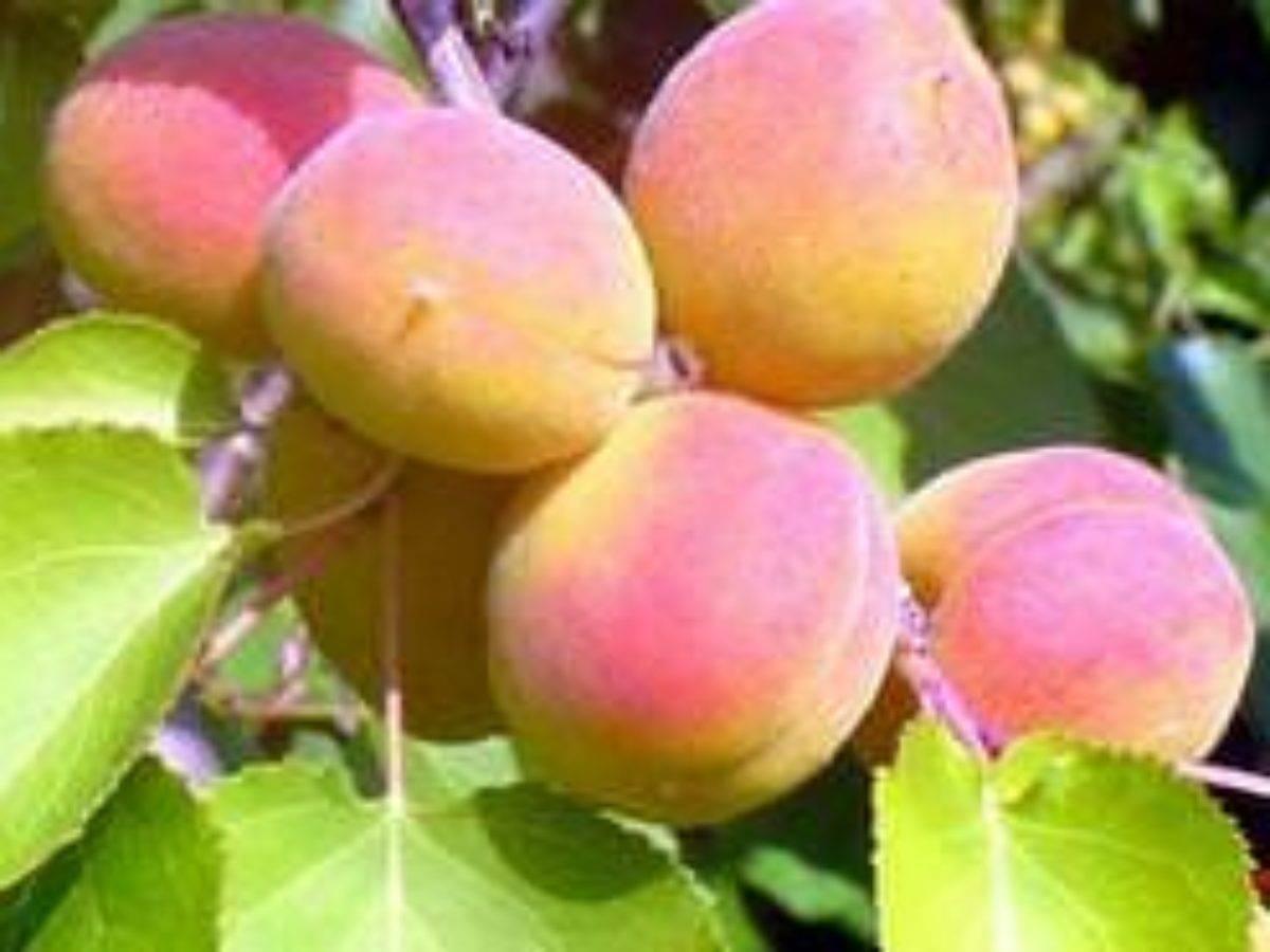 Об абрикосе Восторг: описание и характеристики сорта, посадка, уход, выращивание