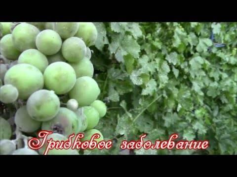Белый налет на листьях винограда - препараты от оидиума на винограде