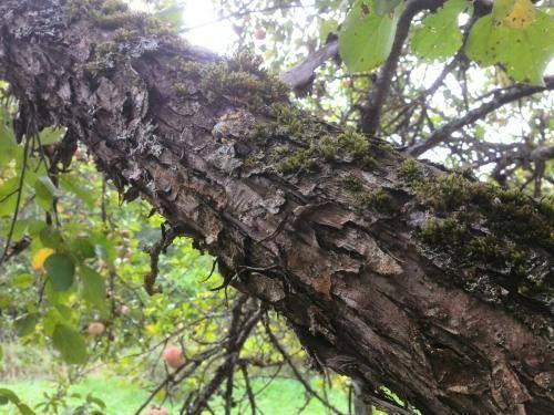 Почему появляется лишайник на яблоне, как избавиться от него – явные причины и простые методы борьбы