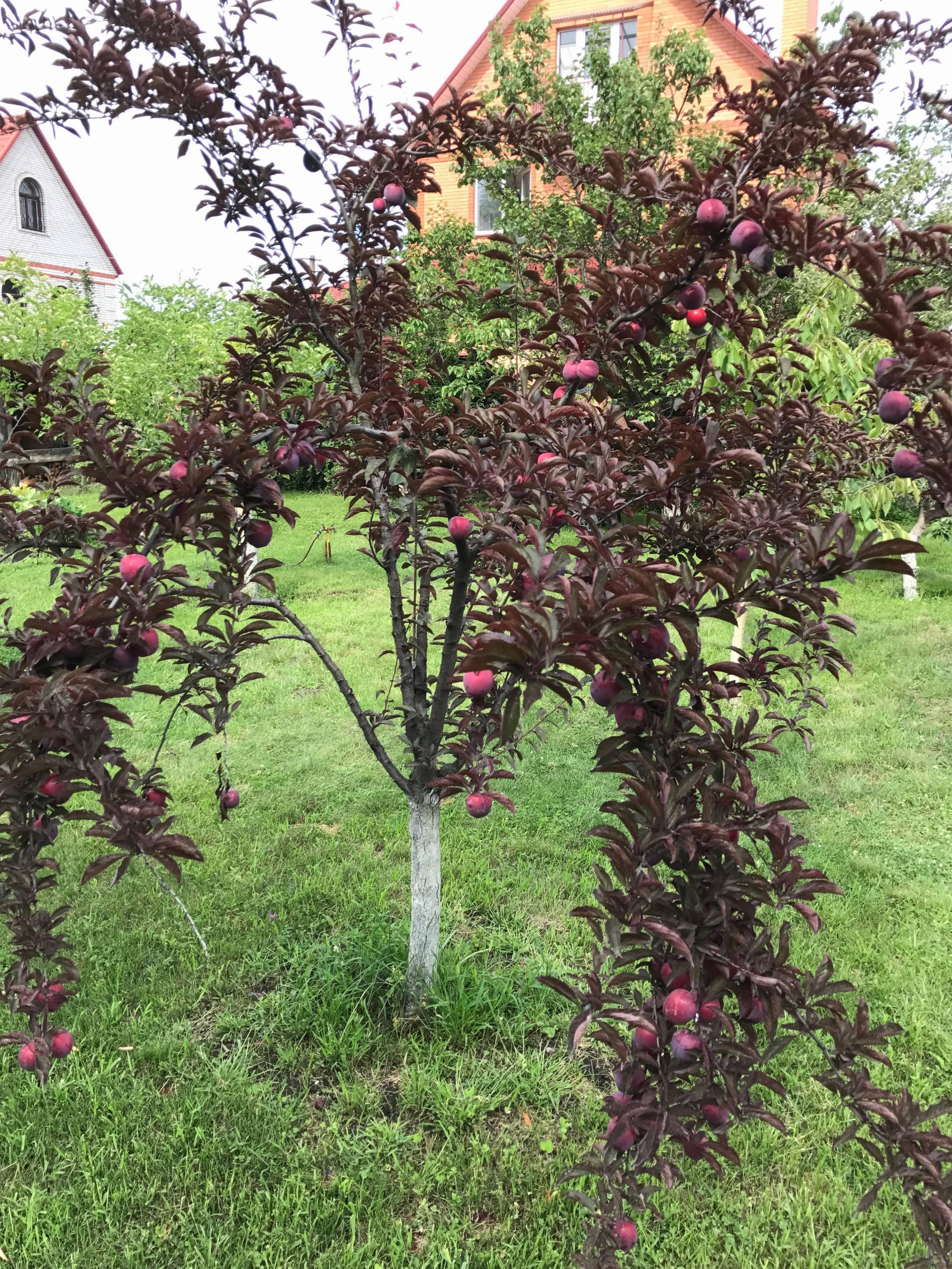 Декоративная слива сорта писсарди — необычная слива для украшения вашего сада