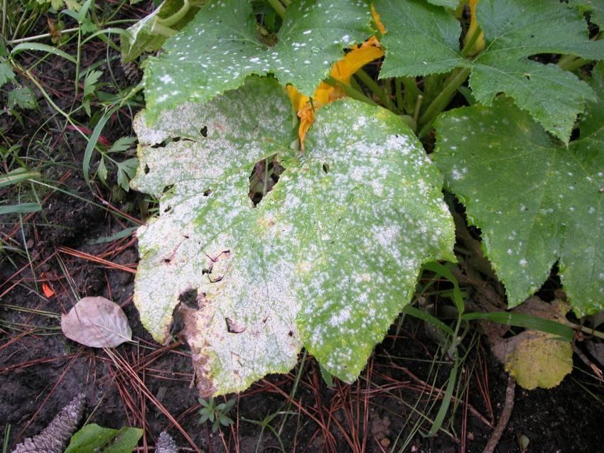 Почему желтеют листья у рассады огурцов?