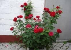 Роза чайно гибридная бургунд