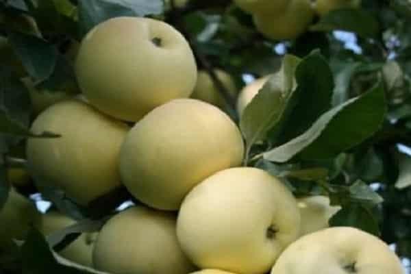 О яблоне Феникс: описание сорта, характеристики, агротехника, выращивание