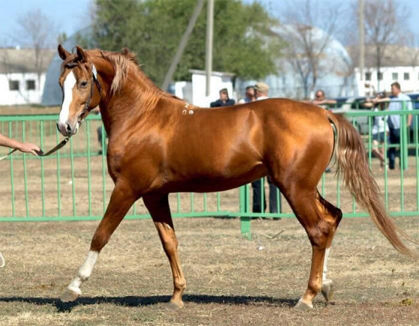 История происхождения буденновской лошади