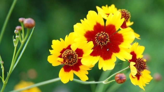 Кореопсис многолетний: описание, сорта, рекомендации по выращиванию