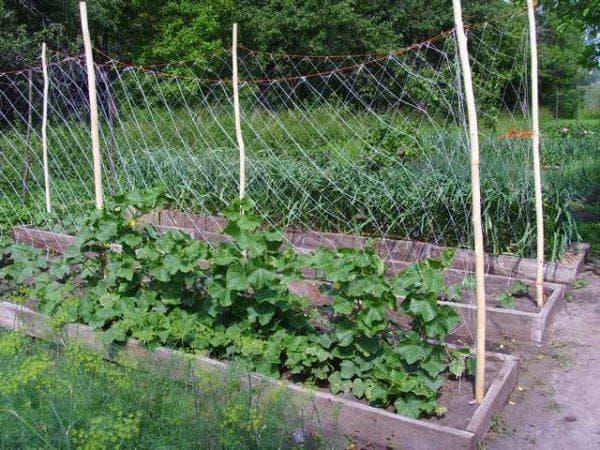 Подвязка огурцов в открытом грунте: методы и советы