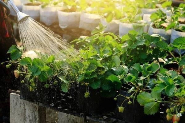 Как часто поливать клубнику и можно ли это делать во время цветения