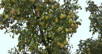 Соседи яблони.