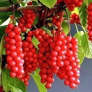 Лимонник: посадка и уход в открытом грунте, выращивание и сорта