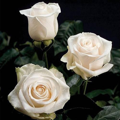Выращиваем чайно-гибридные розы: посадка и уход и выбираем сорта чайно-гибридных роз по фото