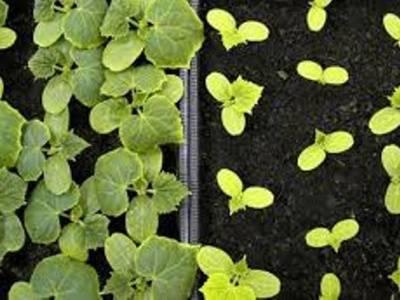 Секреты выращивания рассады огурцов, для отличного урожая