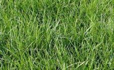 Мятлик луговой: особенности выращивания и способы применения