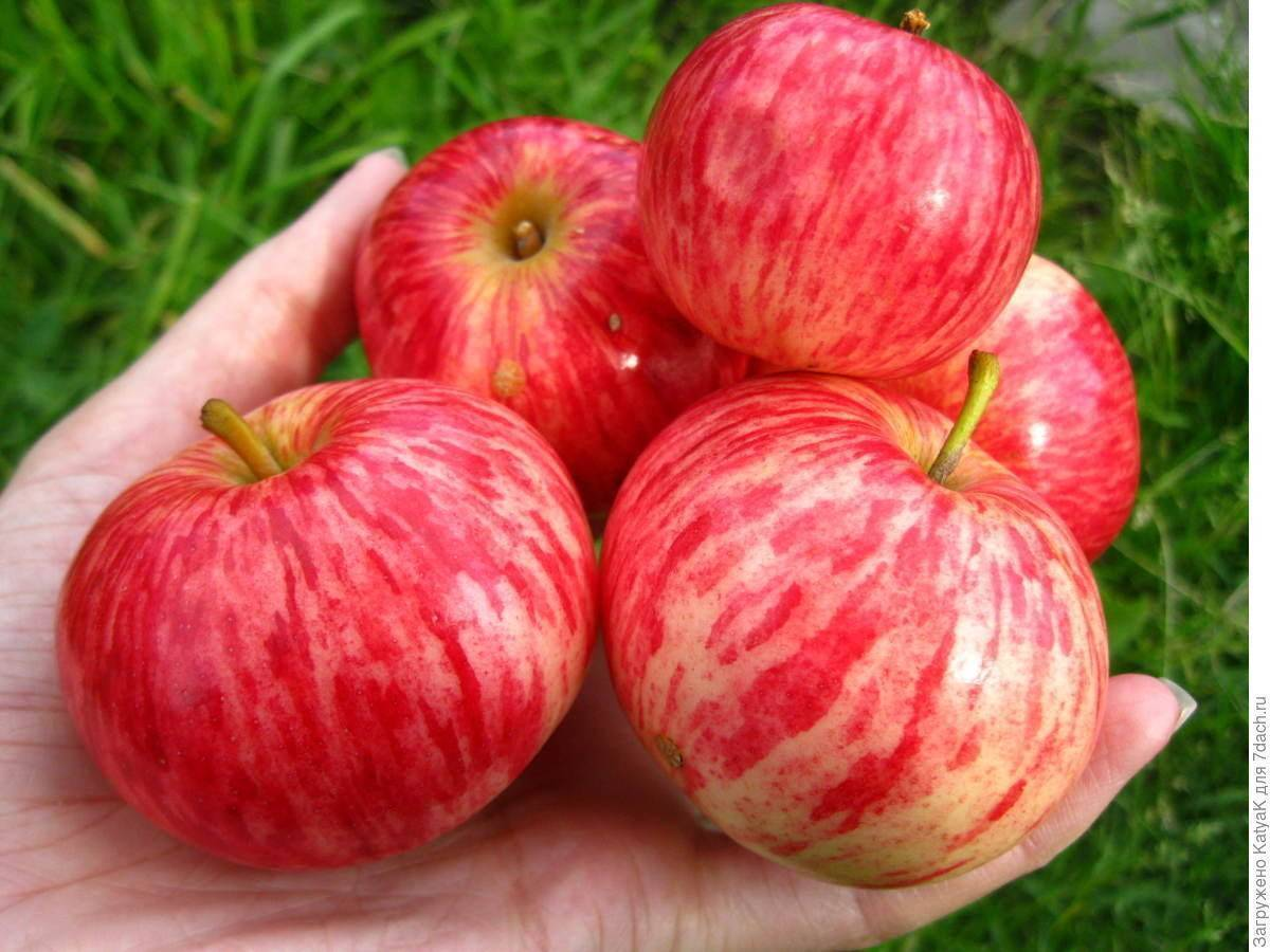 Зимостойкая яблоня коричное полосатое (коричневка)