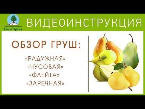 Груша уссурийская: описание сорта, особенности выращивания и отзывы
