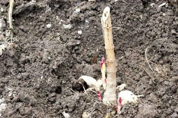 Георгины: выращивание, посадка и уход, как хранить зимой