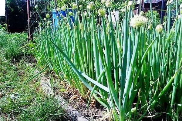 Лук слизун: выращивание, хитрости посадки и ухода за поникающим луком