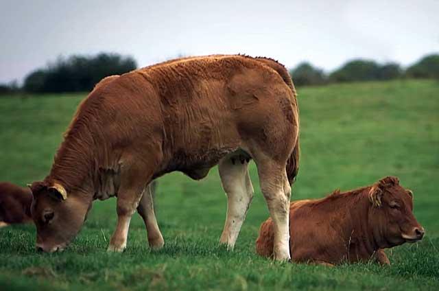 Коровы породы лимузин – диетический крупный рогатый скот