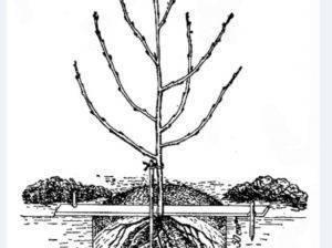 Посадка вишни весной саженцами - важные правила для начинающих садоводов