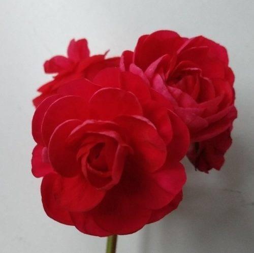 Фото и особенности выращивания пеларгонии пак вива. обзор популярных сортов – розиты, маделины и каролины