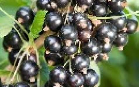 Смородина – условия выращивания и ухода