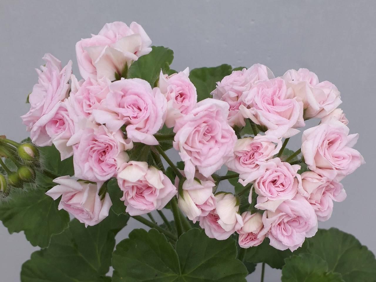 Пеларгония милдфилд роуз: фото и описание, история появления растения, посадка, выращивание и уход, а также размножение, вредители и болезни