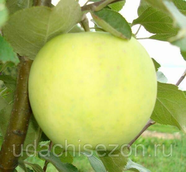 Яблоня сортанародное — ароматный осенний подарок