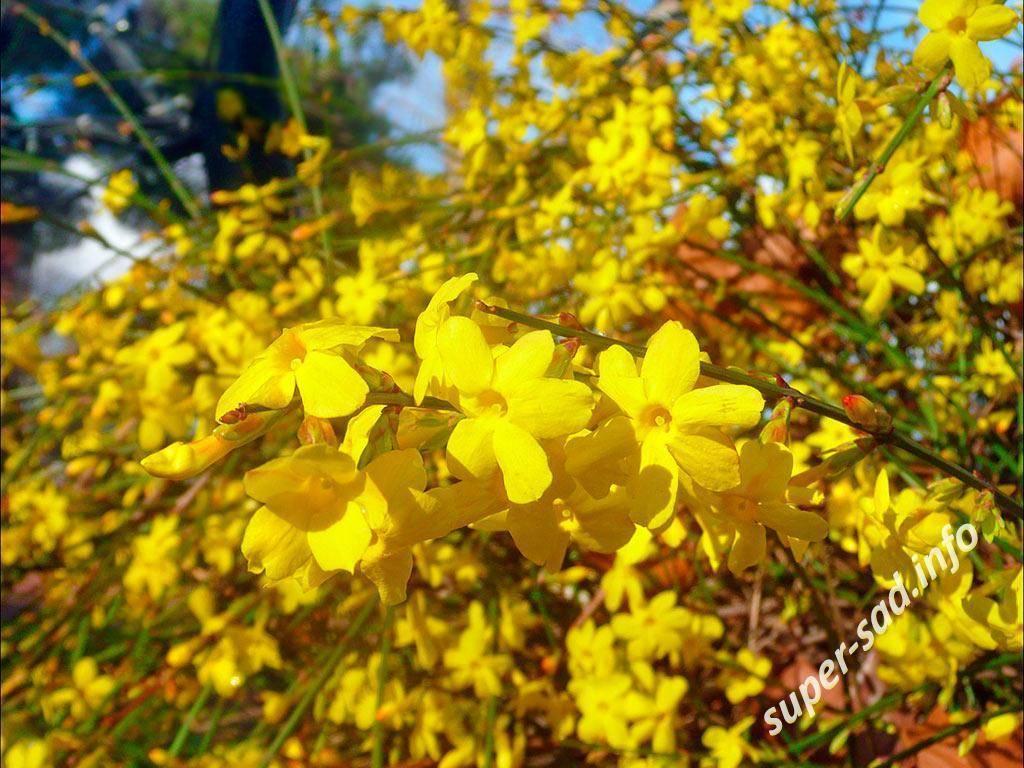 Кустарник жасмин: сорта и фото. способы выращивания в открытом грунте и дома, размножение