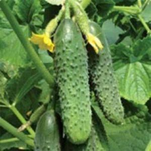 Все о сорте огурцов бьерн: описание, агротехника выращивания и уход