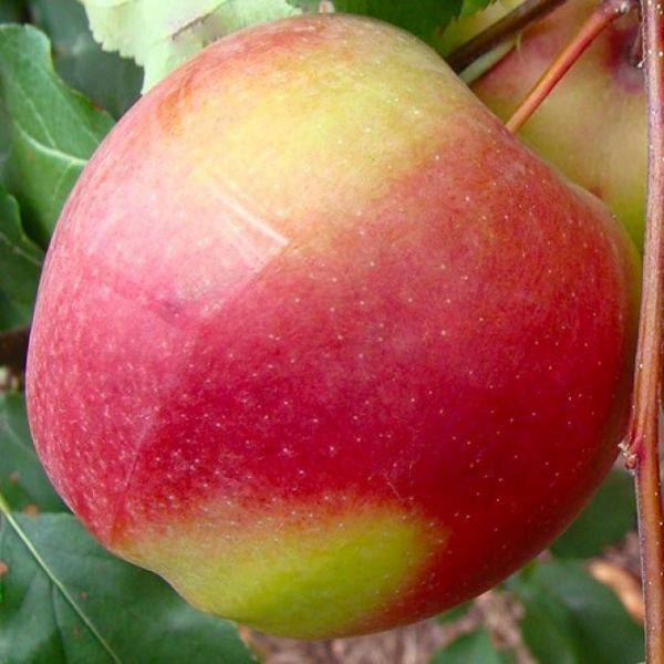 Сорт яблони лигол - общая информация - 2020