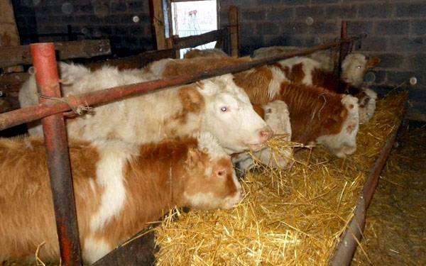 Откорм бычков: рекомендации по сбалансированному рациону |  ветеринарная служба владимирской области