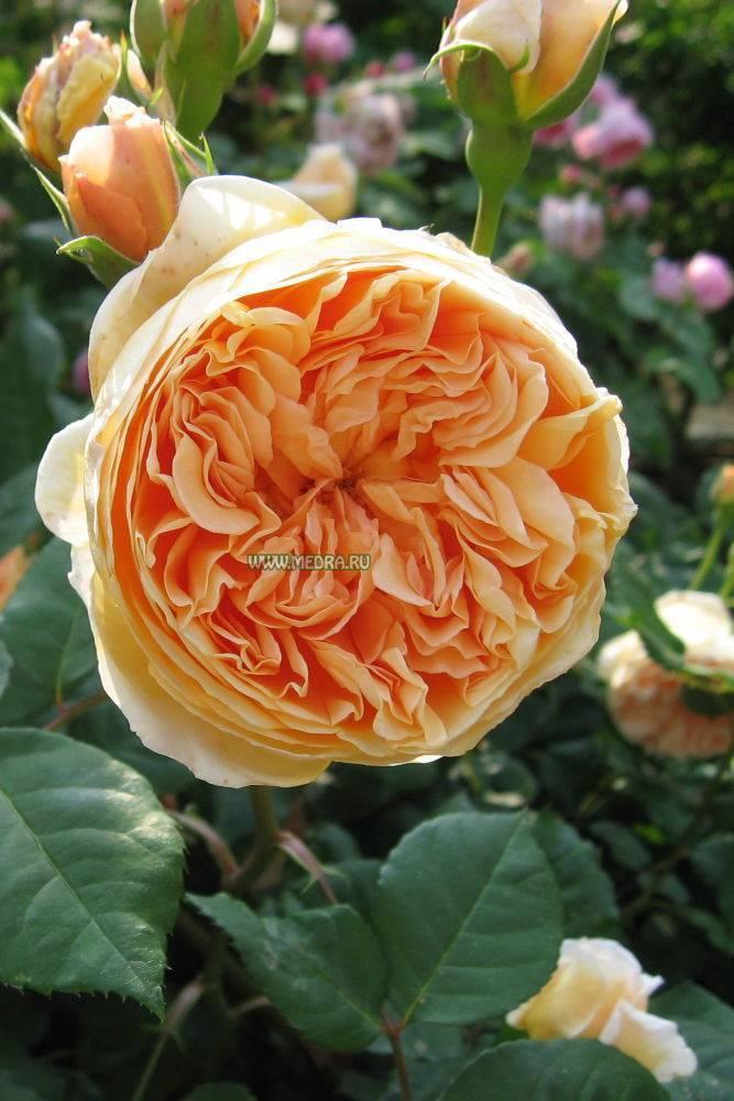 Роза кроун принцесса маргарет отзывы