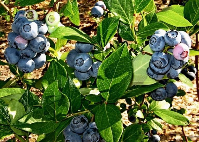 О садовой голубике Блюкроп: описание и характеристики сорта, посадка и уход