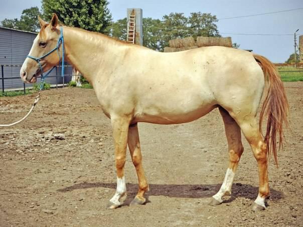 Каурая лошадь: описание масти, питание, содержание