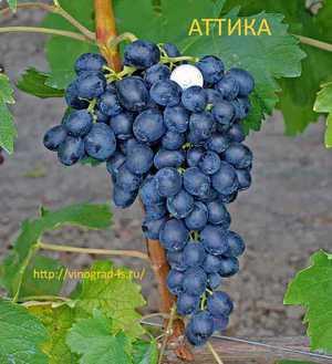 Виноград аттика — ягоды грибы