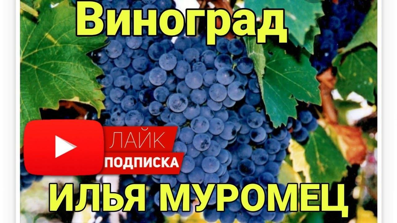 """""""виноград """"""""илья муромец"""""""": описание, выращивание"""""""