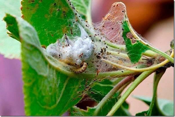 Как избавиться от гусениц на яблоне