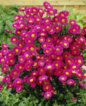 Цветы для клумбы цветущие все лето низкорослые.