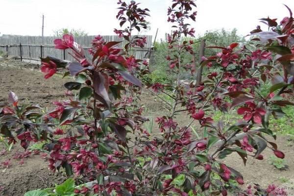 Виды, типы и сорта яблонь с фото и описанием. на каком расстоянии сажать яблони