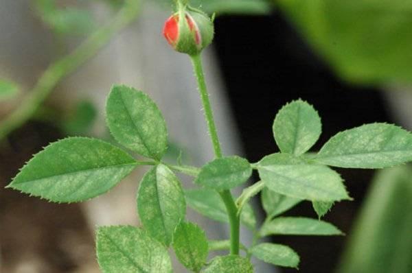Как народными средствами бороться с паутинным клещом на розах